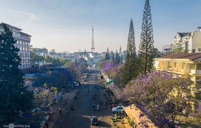 Da Lat is tickled purple as jacaranda flowers bloom all over resort town