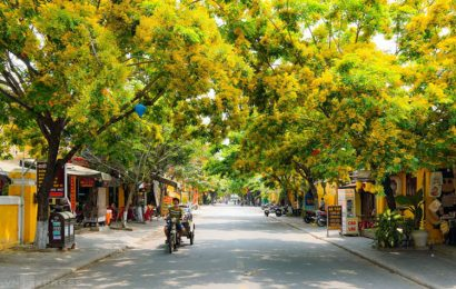 Hoi An in central Vietnam is illuminated by blooming sua flowers