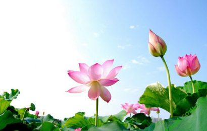 Fragrance and beauty of lotus flowers adds considerably to Quang Nam
