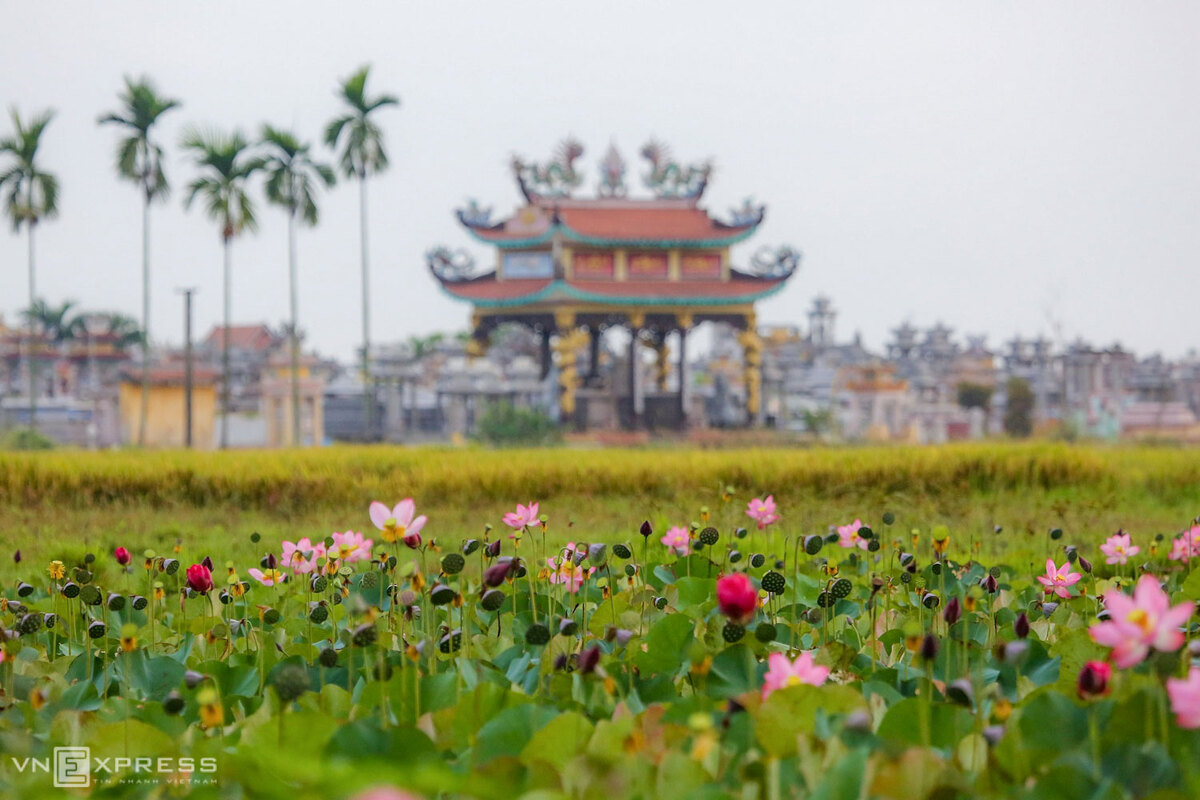 Fragrance-and-beauty-of-lotus-flowers-adds-considerably-to-Quang-Nam-1