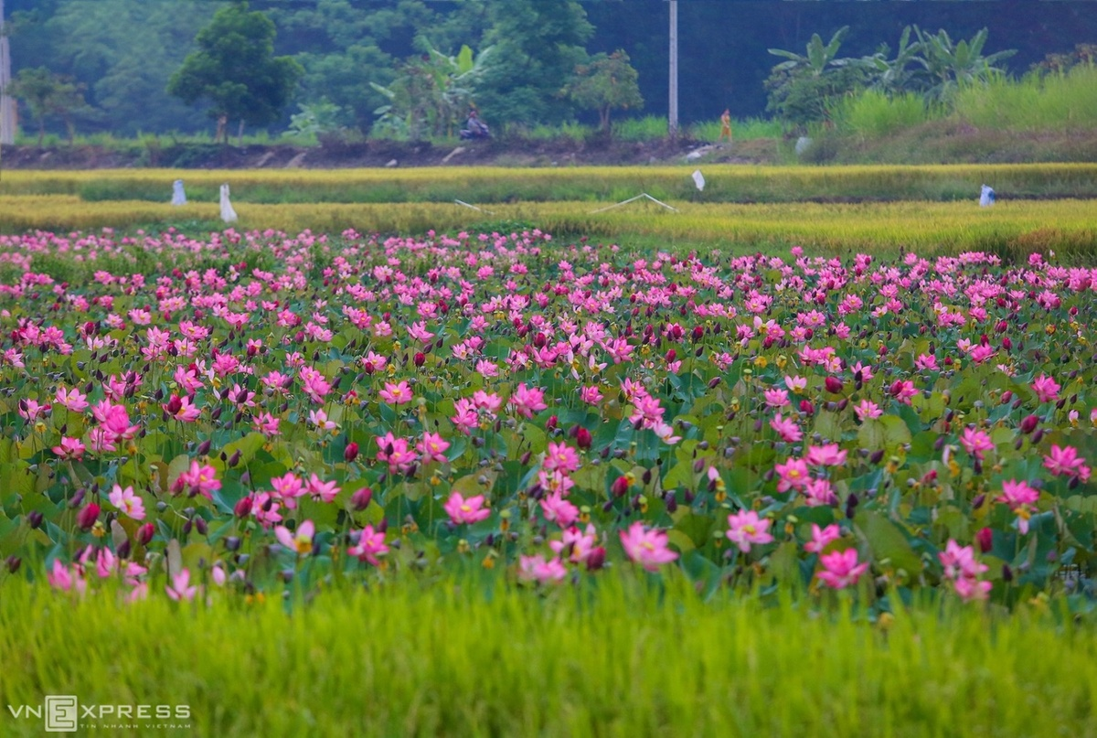 Fragrance-and-beauty-of-lotus-flowers-adds-considerably-to-Quang-Nam-2