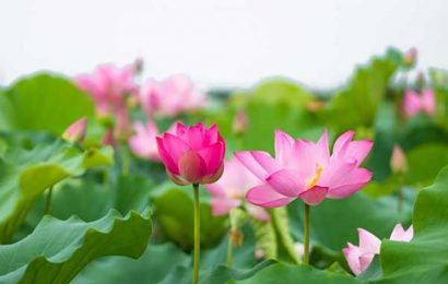 Lotuses adorn the ancient town of Hue in Vietnam with their elegant beauty