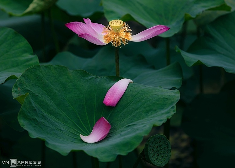 Lotuses-adorn-the-ancient-town-of-Hue-in-Vietnam-with-their-elegant-beauty-9