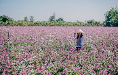 Periwinkle flowers bloom in pink and white in the Mekong Delta in March