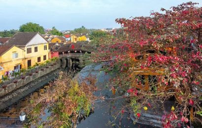 Malabar almond trees add flamboyance to the ancient town of Hoi An