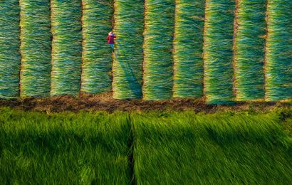 Sedge fields bathed in sunshine is a picturesque scene in Mekong Delta