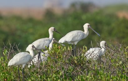 Dozens of rare royal spoonbills have arrived in Xuan Thuy National Park