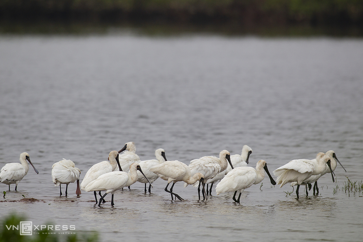 Endangered-royal-spoonbills-arrive-in-Xuan-Thuy-national-park-in-Nam-Dinh-province-2