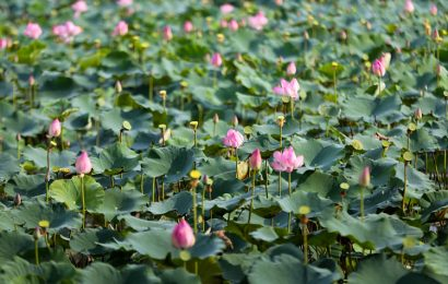 The lotus harvest season is in full swing in Thach Ha District of Ha Tinh