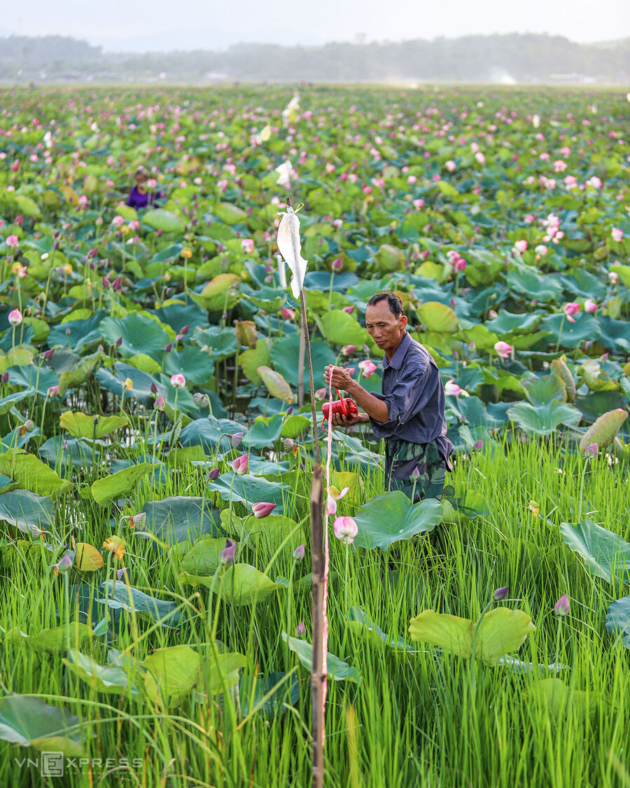 The-lotus-harvest-season-is-in-full-swing-in-Thach-Ha-District-of-Ha-Tinh-2
