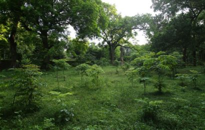 85 ancient ironwood trees in Son Tay, Ha Noi received heritage status