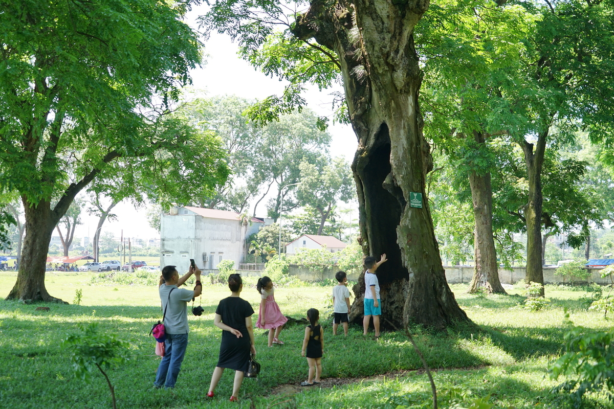 85-ancient-ironwood-trees-in-Son-Tay-Ha-Noi-received-heritage-status-3