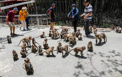 Over 1,500 wild monkeys reside in Sac Forest Tourism Area in Sai Gon